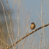 Singing Wren, Papercourt Meadows