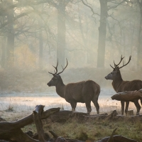 Two Stags and a Frost