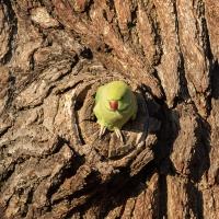 Peeking Parakeet