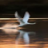 Swan Take Off I
