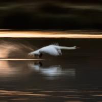 Swan Take Off II