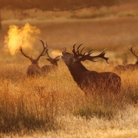 Stag Breath III