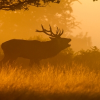 Bellowing Stag II