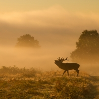 Stag in the Mist I