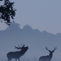 Bellowing Stag III