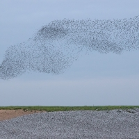 Murmuration Over The Bank