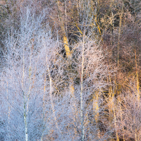 Frozen Birches I