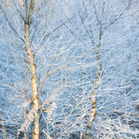 Frozen Birches II