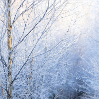 Frozen Birches IV