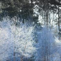 Frozen Birches V