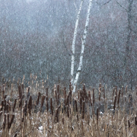 Snow Storm and Silver Birch