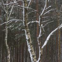 Tomlins Wood VIII