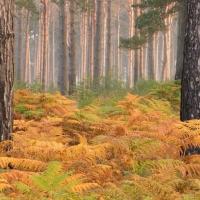Autumn Ferns, Crowthorne Wood