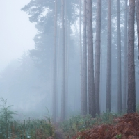 Pines in the Mist, Crowthorne Wood