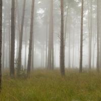 Mist at Crowthorne Wood I