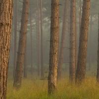 Mist at Crowthorne Wood II