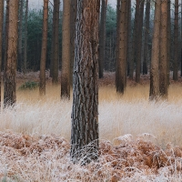 Pines and Frost, Crowthorne Wood