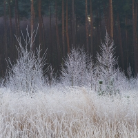 Frosted Trees, Crowthorne Wood