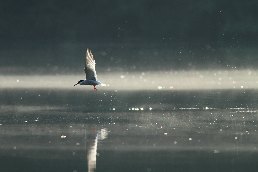 Common Tern, Warrens Pond