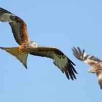 Two Red Kites, Gigrin Farm