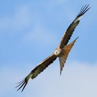 Red Kite, Gigrin Farm