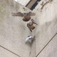 Drop the Pigeon