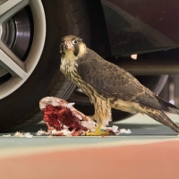 Peregrine in the Car Park I