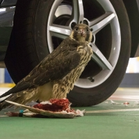 Peregrine in the Car Park III