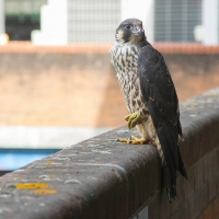 Peregrine in the Car Park IV
