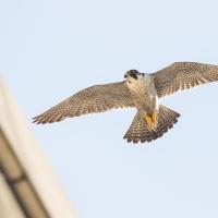 Peregrine Falcon in the evening light