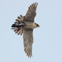 Peregrine with Pigeon