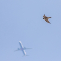 Peregrine and Plane