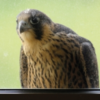 Male juvenile at the window