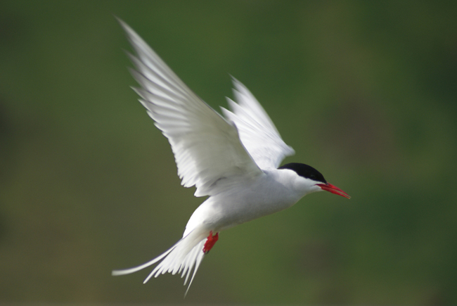 Artic Tern at Vik