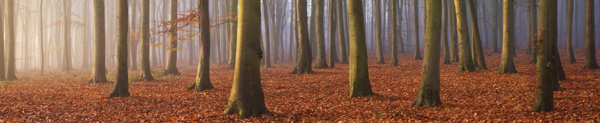 Beech Trees, Surrey Hills