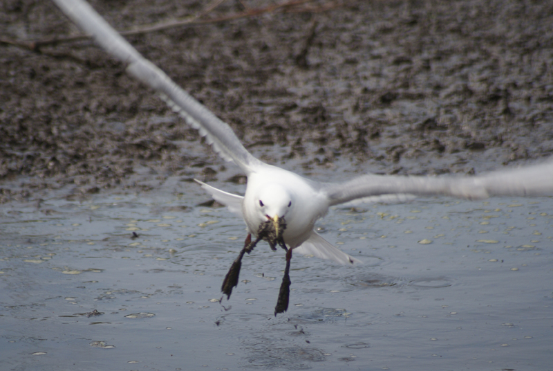 Gull Collecting Mud