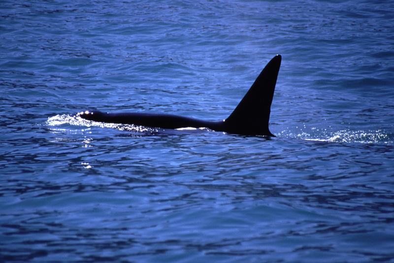 Orca, Kaikoura