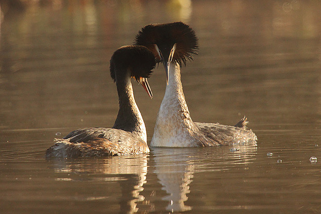 Grebe Courting Part 2