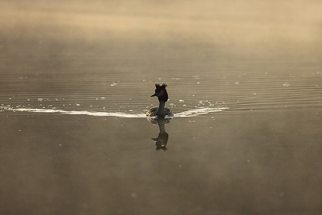Grebe out of the Mist