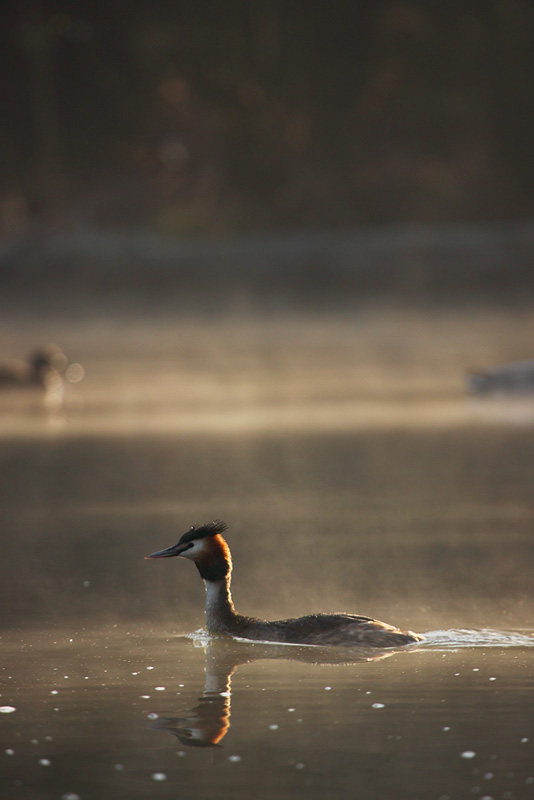 Grebe in the Mist