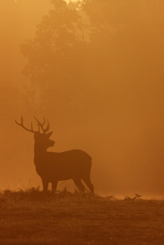 A Stag in the orange light of morning
