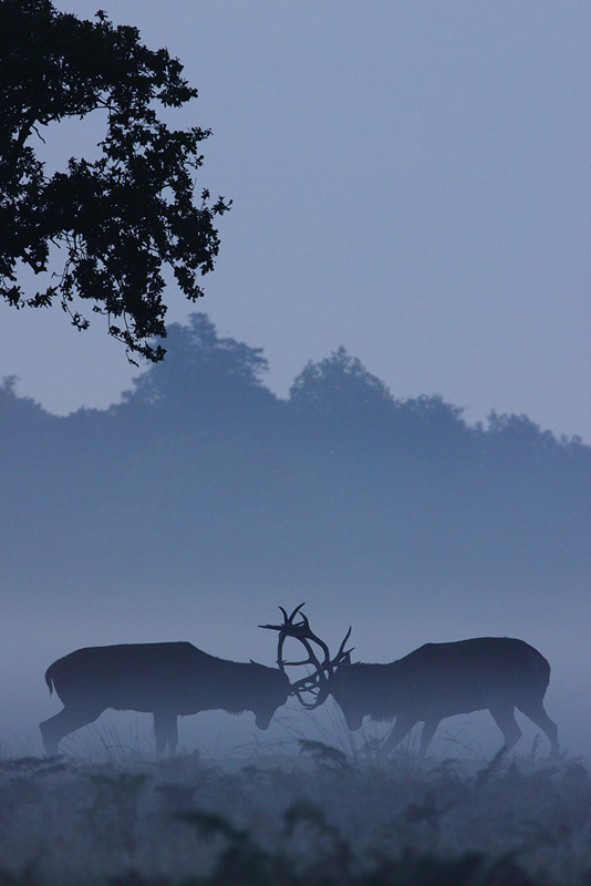 Two Stag Rutting