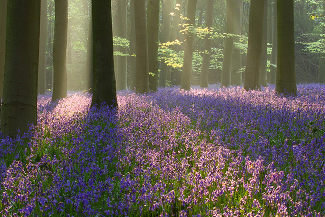 Bluebells, Micheldever Woods, Hampshire