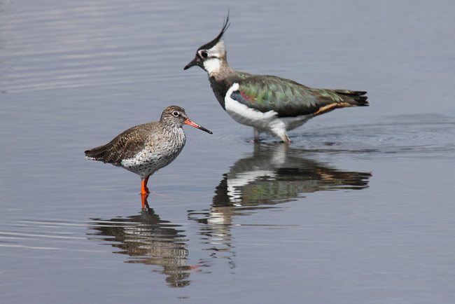 Redshank and Lapwing, Wader Scrape, LWC