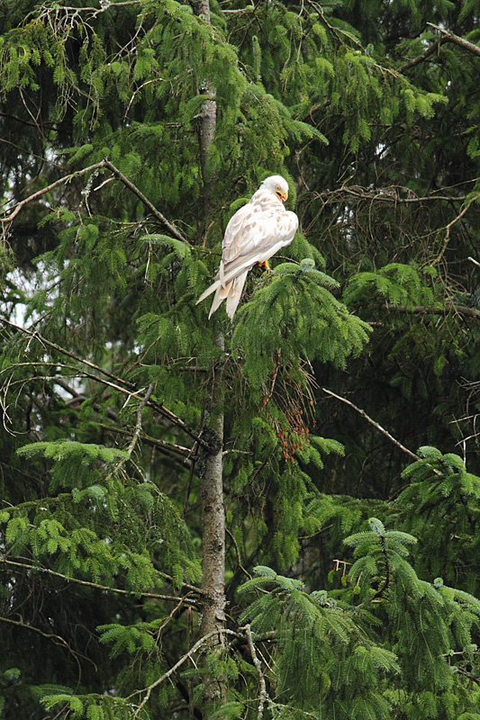 Leucistic Red Kite, Bwlch Nant yr Arian Visitor Centre, Wales