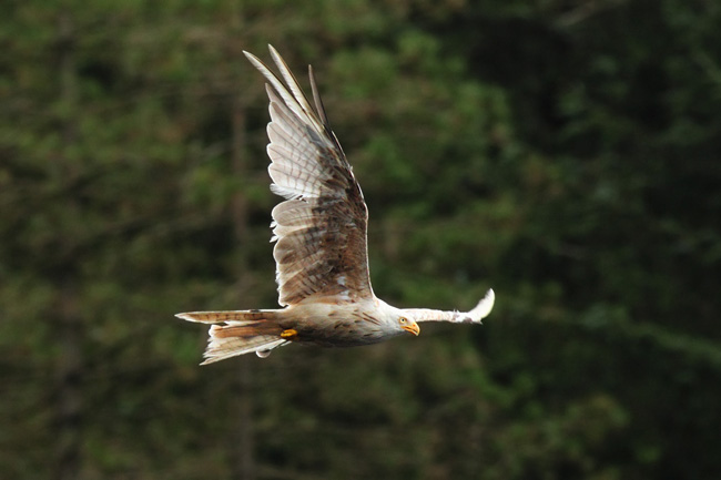 Leucistic Red Kite, Bwlch Nant yr Arian Visitor Centre, Ceredigion Forest, Wales