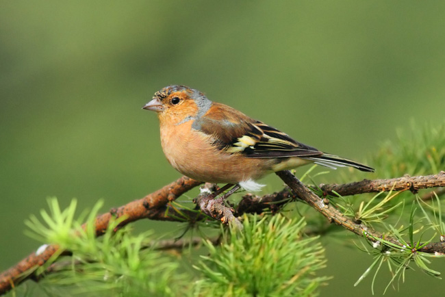 Chaffinch, Bwlch Nant yr Arian Visitor Centre, Wales