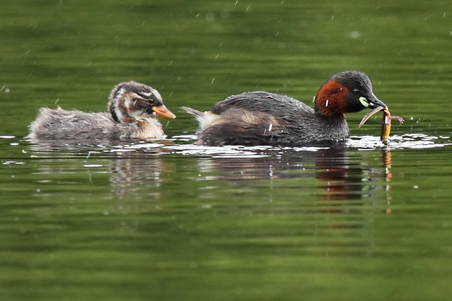 Little Grebes, Bwlch Nant yr Arian Visitor Centre, Ceredigion Forest, Wales