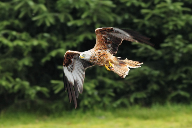 Red Kite, Bwlch Nant yr Arian Visitor Centre, Ceredigion Forest, Wales