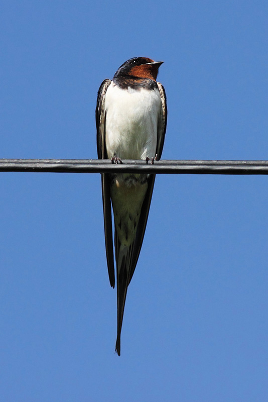 Swallow, Beaumaris, Anglesey, Wales